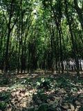 Frühjahr in einer dänisches Wald-? hellgrünen Buche treibt ganz vorbei Blätter Stockbilder