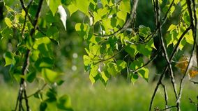Frühjahr im Park mit Birke lässt Nahaufnahme hintergrundbeleuchtet stock footage