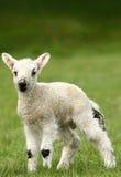 Frühjahr-Lamm Lizenzfreies Stockbild