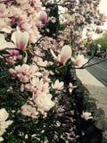 Frühjahr-Magnolie Lizenzfreies Stockfoto