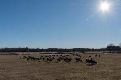 Frühjahr mit dem Weiden lassen von Schafen Stockfotografie