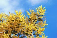 frühjahr Niederlassungen blühender Akazie dealbata Mimose gegen blauen Himmel Stockbild