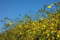 Frühjahr, Ostern-Zeit Gelbe Blüten pflanzen Hecke auf klarem Hintergrund des blauen Himmels stockfoto