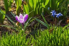 Frühjahr: Violetter Krokus auf dem Blumenbeet Lizenzfreie Stockfotografie