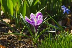 Frühjahr: Violetter Krokus auf dem Blumenbeet Stockbilder