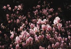 Frühjahrblüte des rosafarbenen Magnoliebusches Stockfotografie
