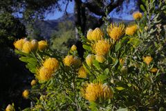 Frühjahrblüte in Kalifornien an botanischen Gärten Tafts, Ojai C Stockbild