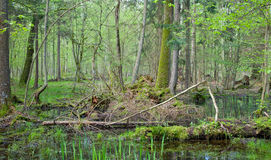 Frühjahrerle-Sumpfwald Lizenzfreie Stockfotos
