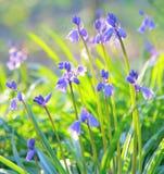 Frühjahrglockenblumen Stockfoto