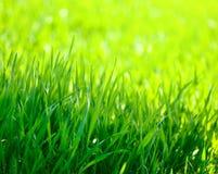 Frühjahrmaisfeldnahaufnahme Stockfoto