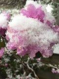 Frühjahrschnee bedeckte Azalee Stockbild