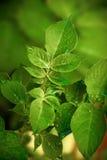 Frühkartoffel Blätter lizenzfreies stockbild