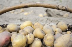 Frühkartoffeln gesammelt in einem Sarg lizenzfreie stockfotos