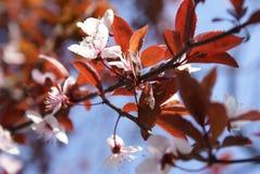 Frühling 2008, wilde weiße Blumen Stockbild