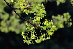 Frühling Acer negundo Stockfoto
