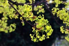 Frühling Acer negundo Stockbild