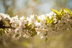 Frühling Apfelbäume in der Blüte Blumen des Apfels weiße Blüte von blühendem nahem hohem des Baums Schöner Frühlingsaprikosenbaum Stockbild