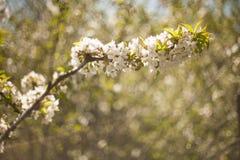 Frühling Apfelbäume in der Blüte Blumen des Apfels weiße Blüte von blühendem nahem hohem des Baums Schöner Frühlingsaprikosenbaum Stockfoto