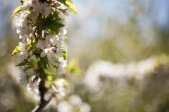 Frühling Apfelbäume in der Blüte Blumen des Apfels weiße Blüte von blühendem nahem hohem des Baums Schöner Frühlingsaprikosenbaum Stockfotografie
