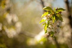 Frühling Apfelbäume in der Blüte Blumen des Apfels weiße Blüte von blühendem nahem hohem des Baums Schöner Frühlingsaprikosenbaum Lizenzfreies Stockfoto