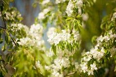 Frühling Apfelbäume in der Blüte Blumen des Apfels weiße Blüte von blühendem nahem hohem des Baums Schöne Frühlingsaprikose Stockbilder