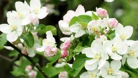 Frühling Apple-Baum Zweig in der Blüte stock footage