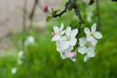 Frühling Apple-Baum Zweig in der Blüte Lizenzfreie Stockfotografie
