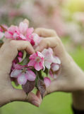 Frühling Apple-Baum Zweig in der Blüte Stockbilder