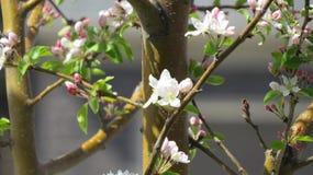 Frühling Apple-Baum Zweig in der Blüte Lizenzfreie Stockfotos