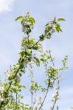 Frühling Apple-Baum Zweig in der Blüte Lizenzfreies Stockbild