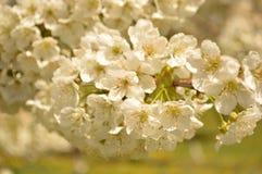 Frühling Apple-Baum Zweig in der Blüte Lizenzfreies Stockfoto