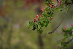 Frühling Apple-Baum Zweig in der Blüte lizenzfreie stockbilder