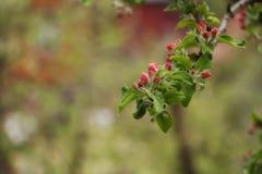 Frühling Apple-Baum Zweig in der Blüte stockfotografie