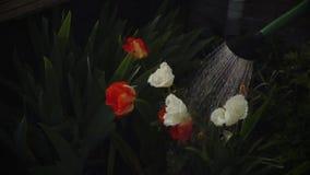 Frühling Arbeiten im Garten Bewässerungsblumen stock video