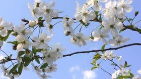 Frühling Blühende Kirschen und Himmel stock video