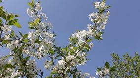 Frühling Blühende Kirschen und Himmel stock footage