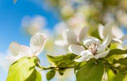 Frühling Blühender Baum-Brunch mit weißen Blumen Stockfotos