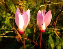 Frühling blüht das Blühen in Poleg-Strom nahe dem Mittelmeers Lizenzfreies Stockbild