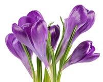 Frühling blüht den Krokus, der auf weißem Hintergrund lokalisiert wird Stockfotografie