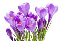 Frühling blüht, der Krokus, getrennt auf Weiß Lizenzfreies Stockfoto