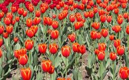 Frühling blüht die Reihen-, Rote und Orangetulpen auf dem Gebiet Stockfotografie