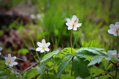 Frühling blüht die weißen Schneeglöckchen Stockfoto