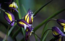 Frühling blüht, Gelb mit Purpur, im Gras stockfoto