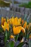 Frühling blüht gelben Krokussteingarten Stockfotos