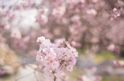 Frühling blüht Hintergrund mit rosa Blüte, blühender Garten stockfoto