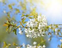 Frühling blüht Kirschbaumnahaufnahme Lizenzfreie Stockfotografie