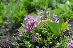 Frühling blüht, Purpur, Makro, Sommer Grüns Lizenzfreies Stockfoto