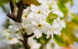 Frühling blüht Reihe, Birnenblüte auf dem Gebiet Stockfotografie