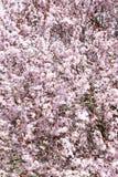 Frühling blüht Rosa Stockfoto