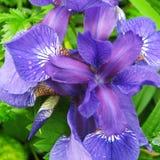 Frühling blüht schöne blaue Iris im Garten lizenzfreie stockfotografie